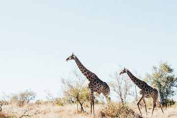 Journey Through Kruger Safari